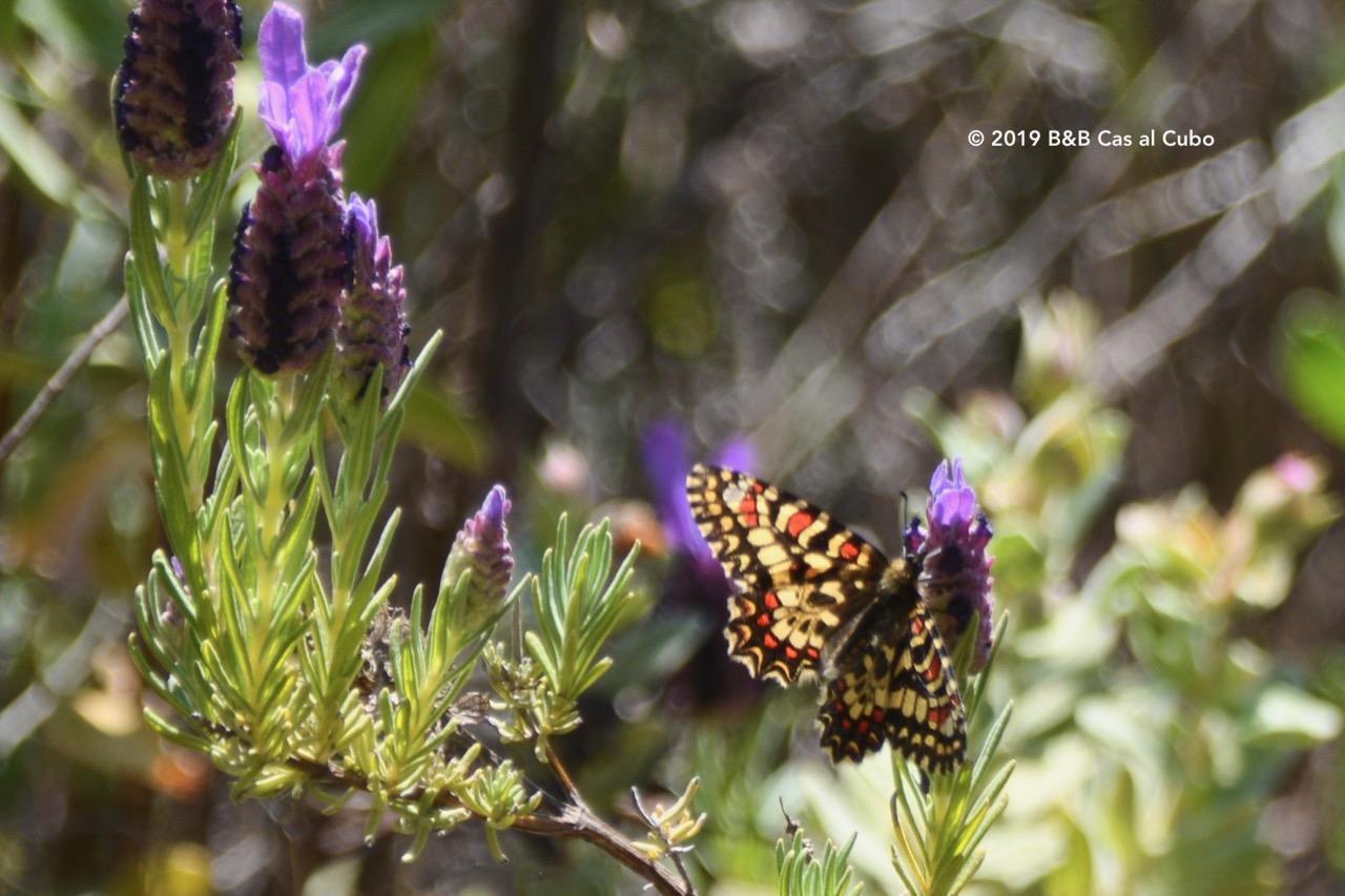 Zuidelijke pijpbloem vlinder
