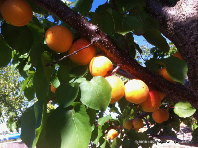 Abrikozen - Apricot - Alperce