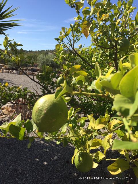 Citroen - Lemon - Limão