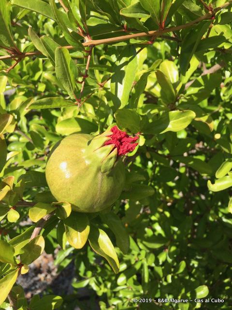 Granaatappel - Pomegranate - Romã