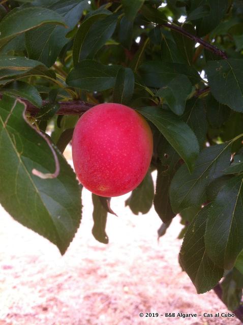 Pruim - Plum - Ameixa