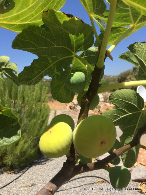 Vijgen - Fig - Figo