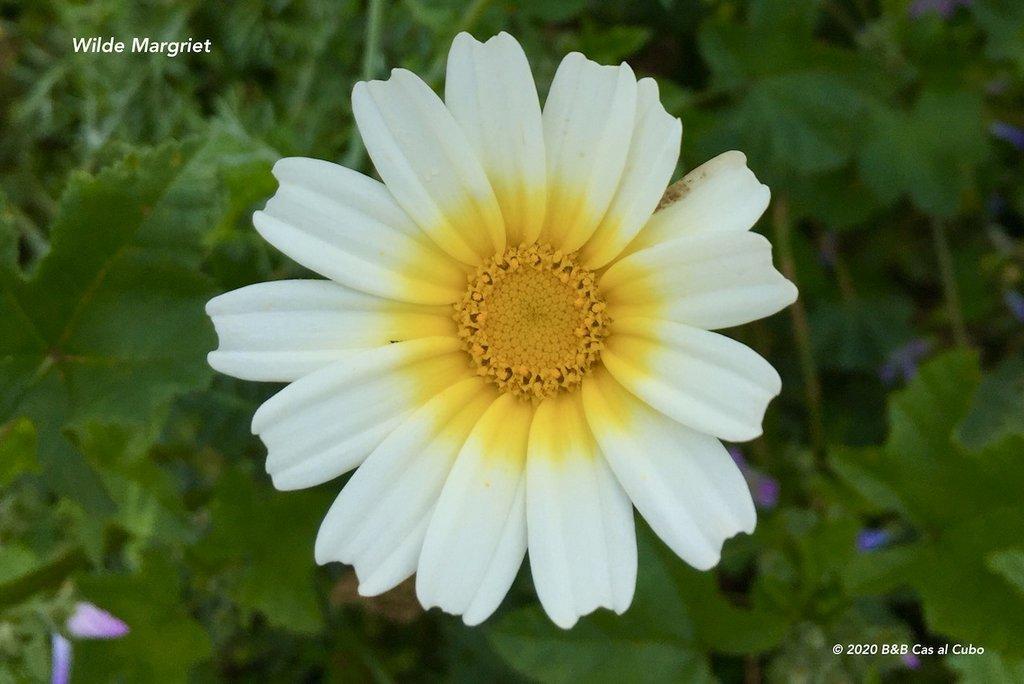 wilde-bloemen-algarve-b&b-cas-al-cubo-wilde-margriet