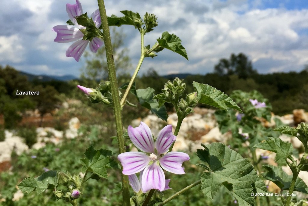 wilde-bloemen-algarve-b&b-cas-al-cubo-lavatera
