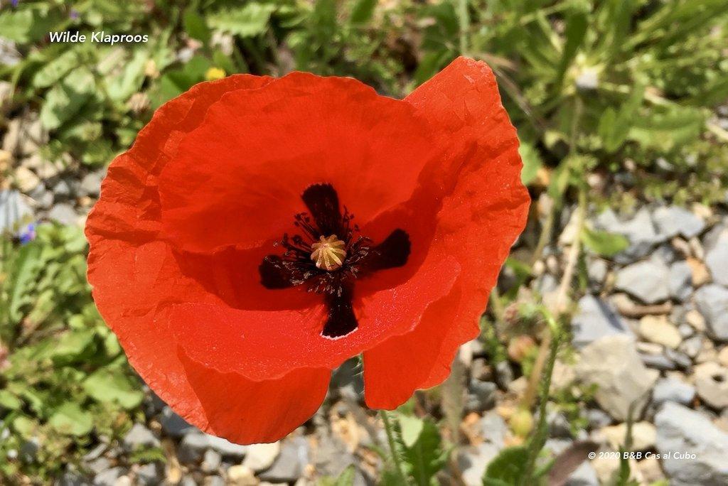 wilde-bloemen-algarve-b&b-cas-al-cubo-klaproos
