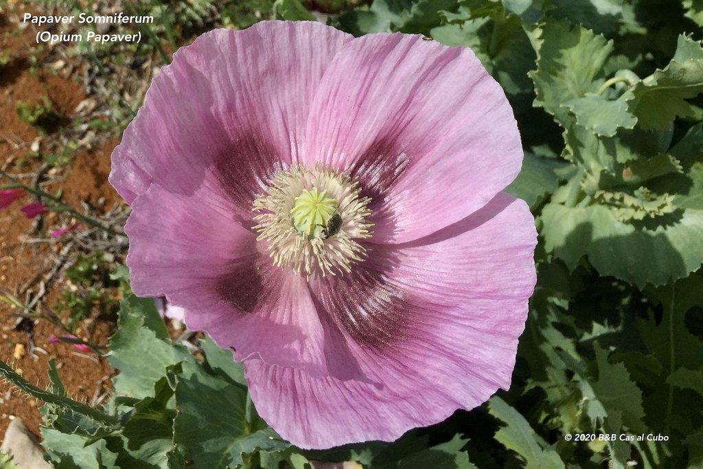 wilde-bloemen-algarve-b&b-cas-al-cubo-wilde-papaver