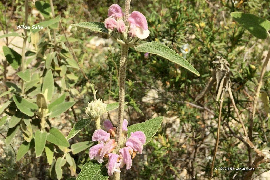 wilde-bloemen-algarve-b&b-cas-al-cubo-wilde-salie